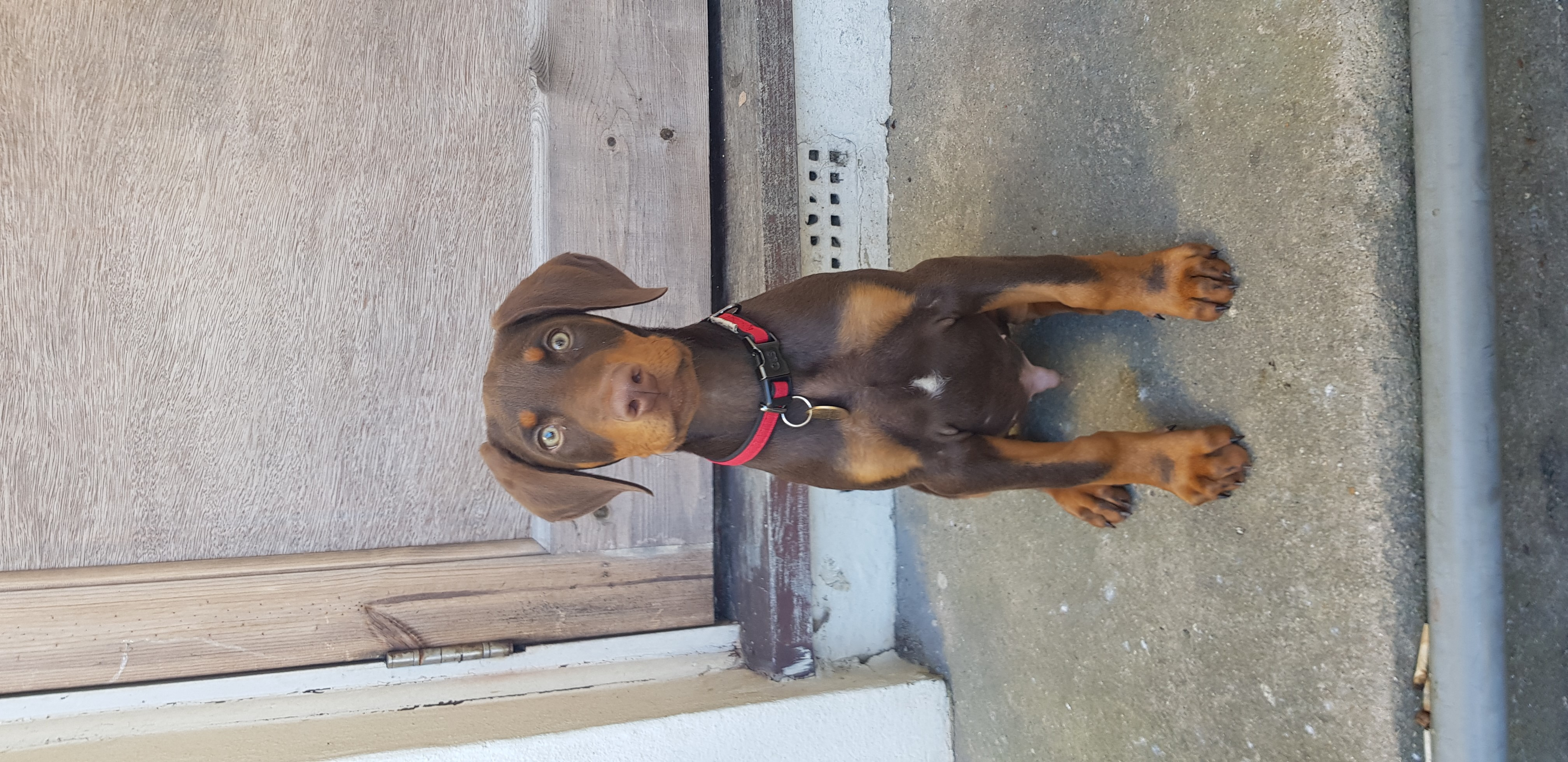 Friendly 1-year old Doberman pup for sale with lots of