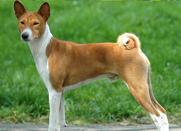 Dog Breeds - Dog Breed Selector A-Z | Mypetzilla - photo#40