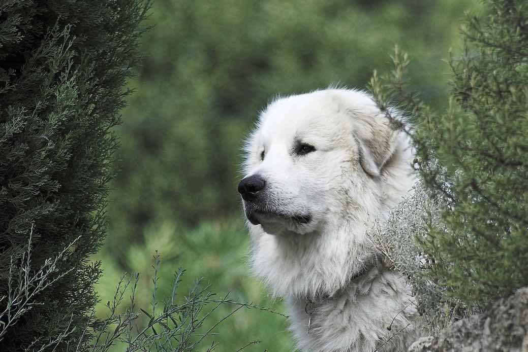 Pyrenean Mountain Dog | Dog Breed Facts & Advice ...