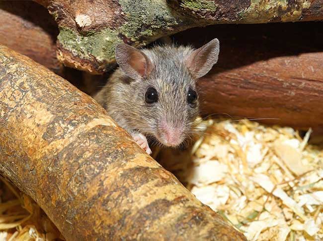 How To Care For Your Pet Mouse And Rat