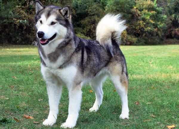 Canadian Eskimo Dog Puppies Uk