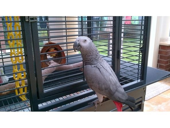 hand reared african grey parrot cage for sale parrots. Black Bedroom Furniture Sets. Home Design Ideas