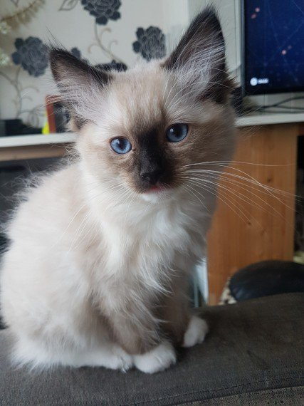 2 Seal Mitted Ragdoll Kittens for Sale | Ragdoll for Sale | London