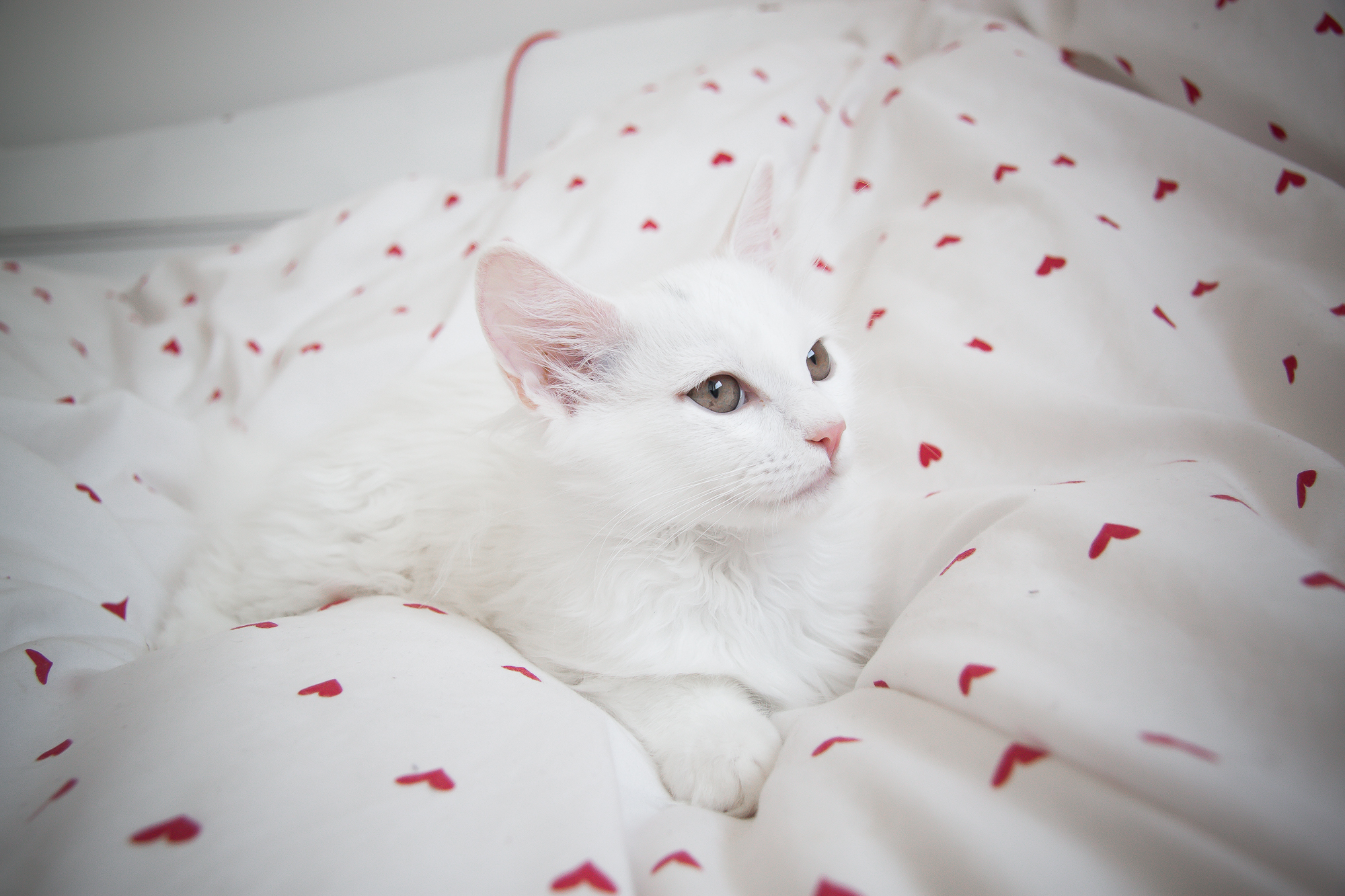 Last two Turkish angora kittens for sale from litter of 8 ...