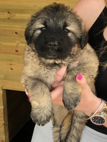 Caucasian Mountain Shepherd Puppies Caucasian Shepherd Dog For Sale Kent Mypetzilla