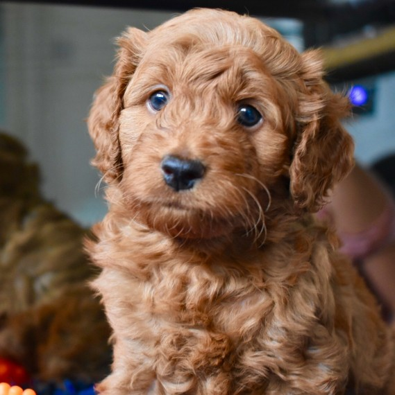 Ready F1b Cockapoos   1 Left Boy Available  red  | Cockapoo