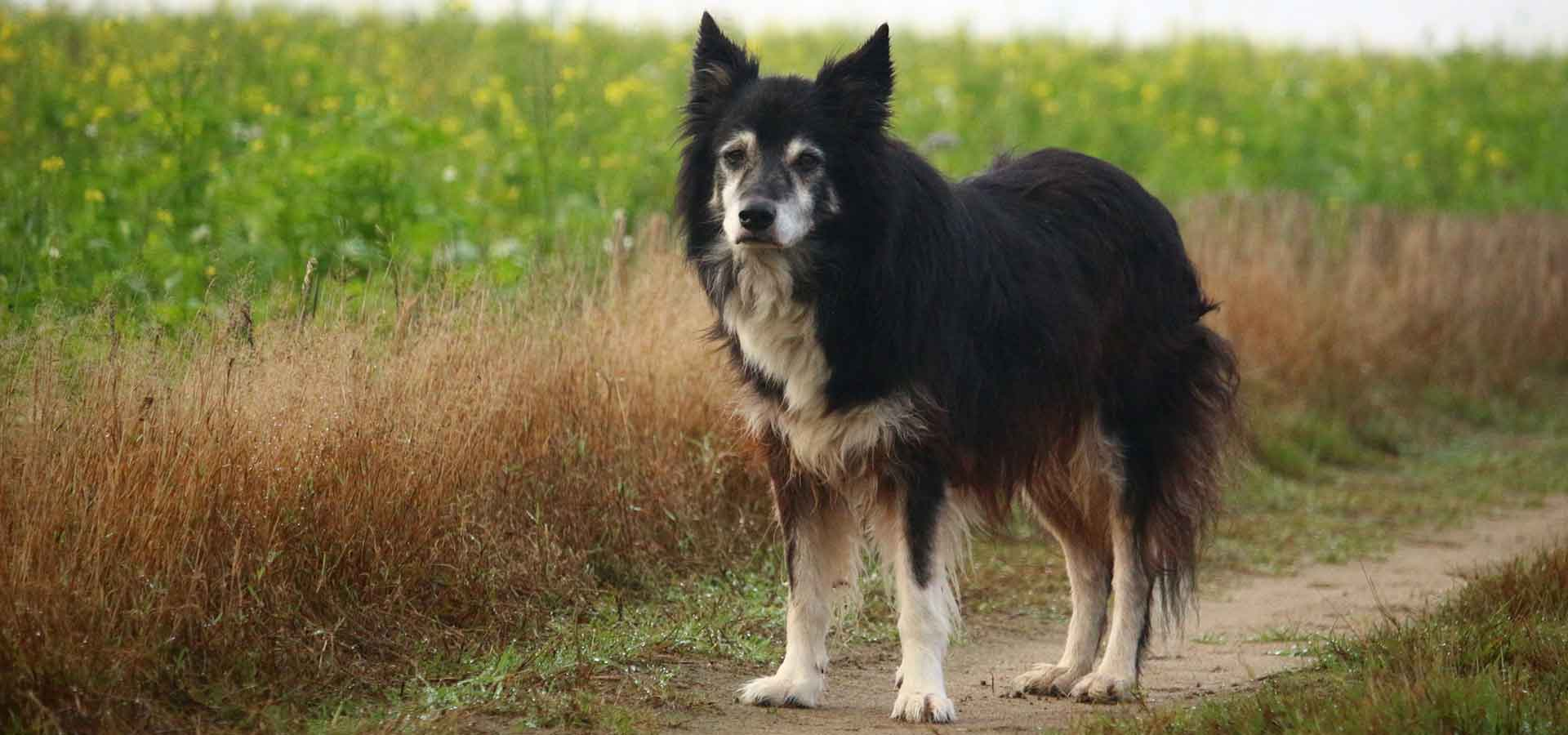 arthritis in dogs