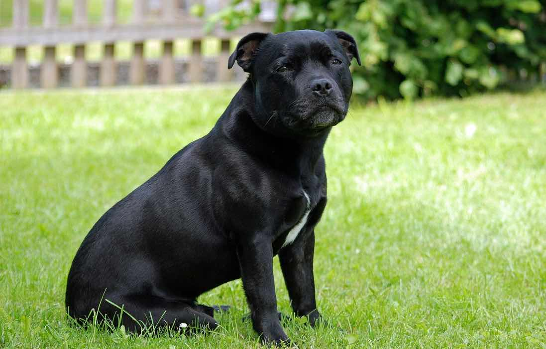 staffshire puppies staffordshire bull terrier dog breed facts advice 7288