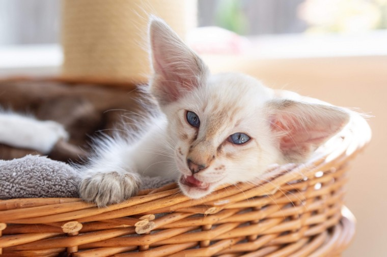 Balinese Oriental Longhair Pedigree Kittens Balinese For