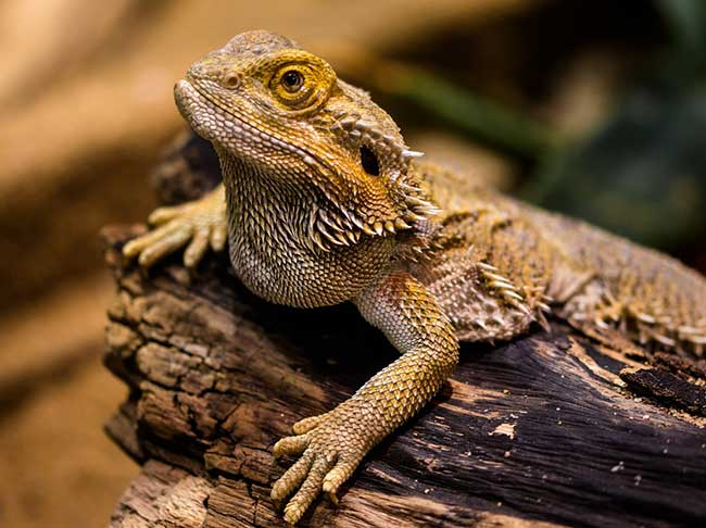 Caring For Your Pet Lizard