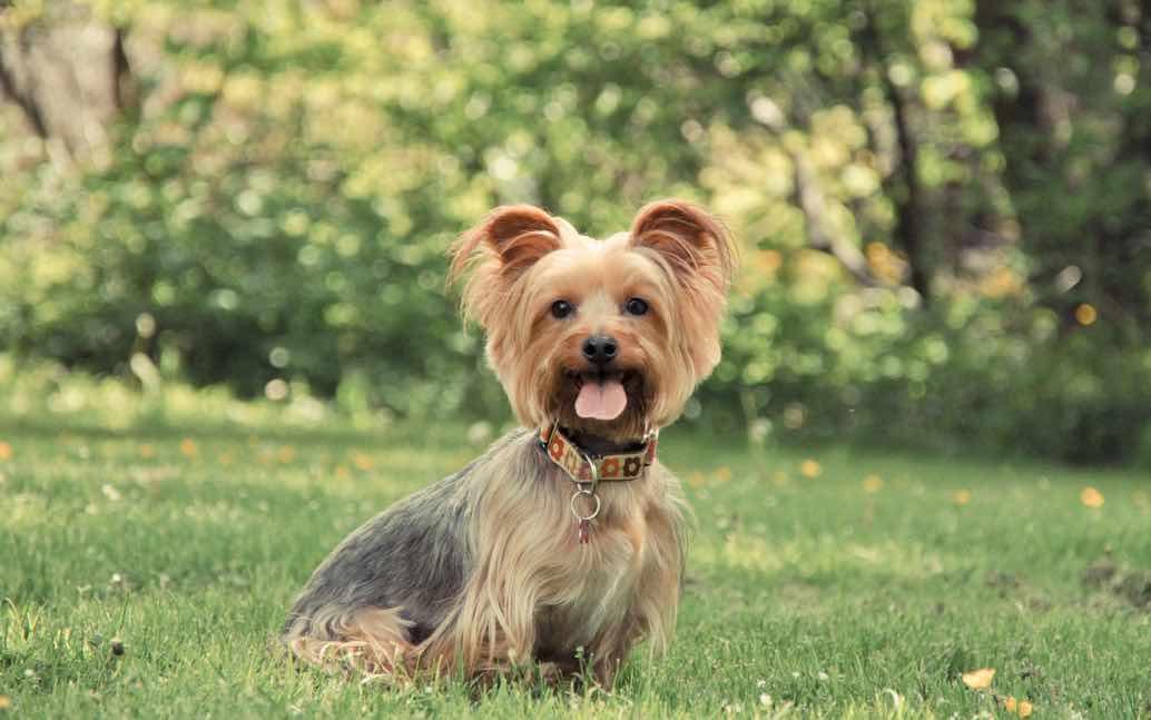 Australian Silky Terrier   Dog Breeds Facts, Advice ...