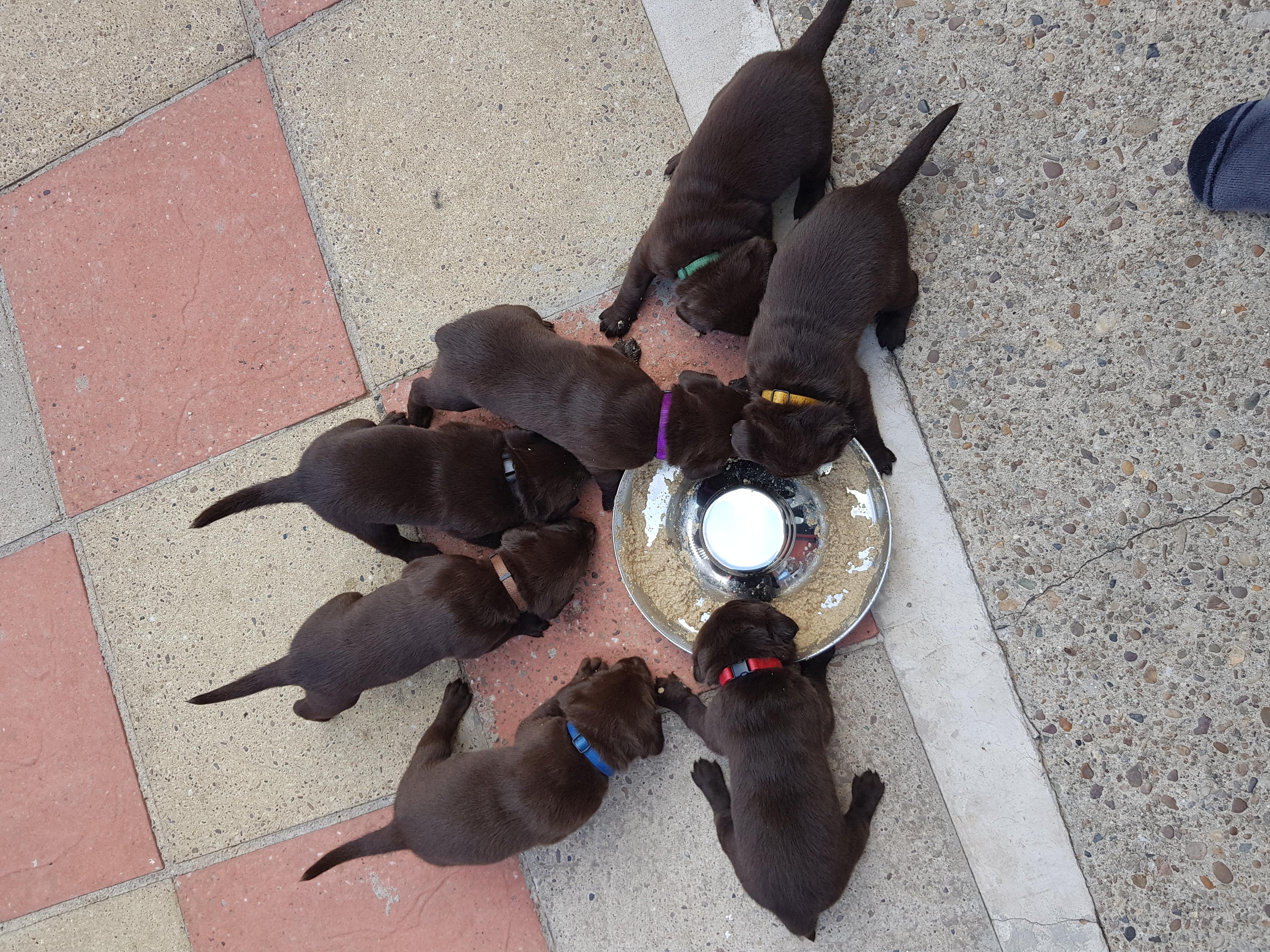Chocolate Labrador Pups For Sale Labrador Retriever For