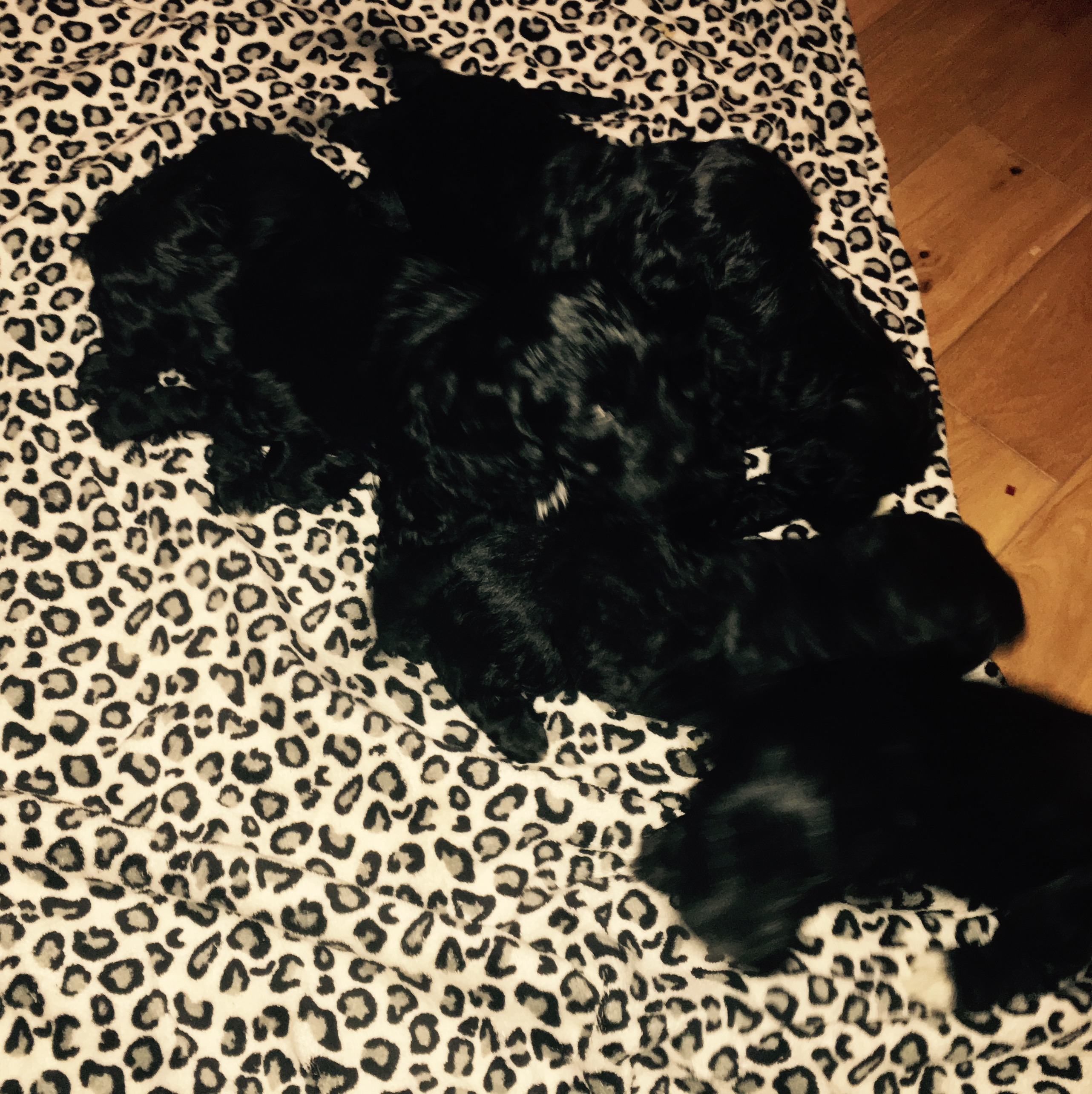 F1 Black Cockapoo Puppies Cockapoo For Sale Morpeth Mypetzilla