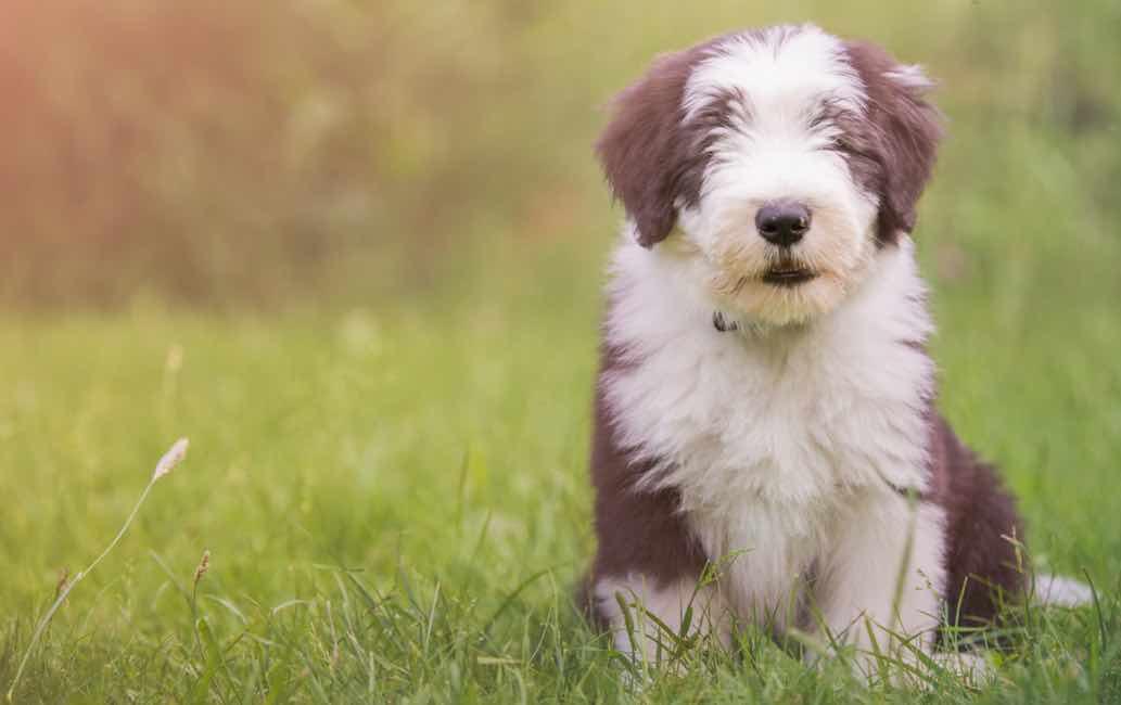 Bearded Collie | Dog Breed Facts & Advice | Mypetzilla UK