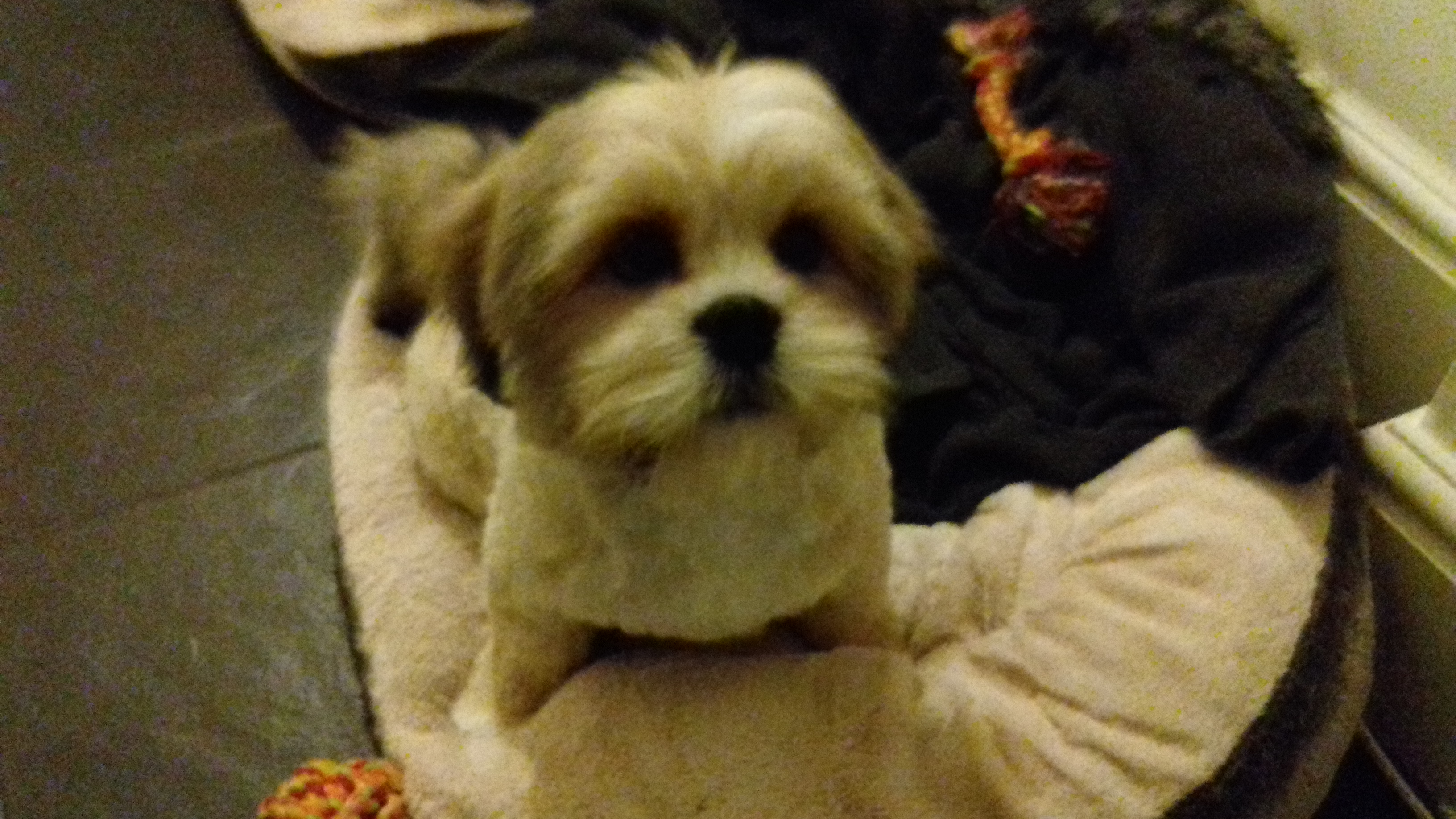 2 Lhasa Apso Puppies For Sale Lhasa Apso For Sale Scarborough