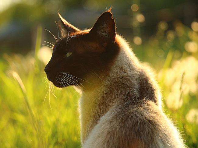 Hypoallergenic Cats For Sale Uk