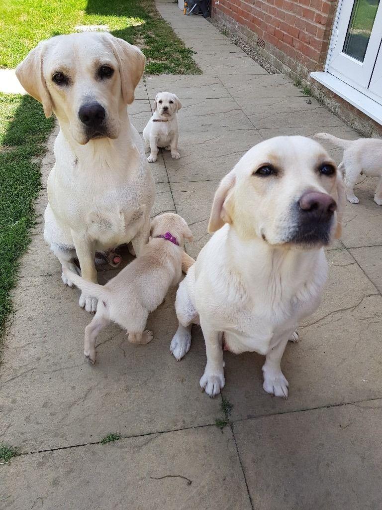Stunning pedigree labrador puppies   Labrador Retriever ...