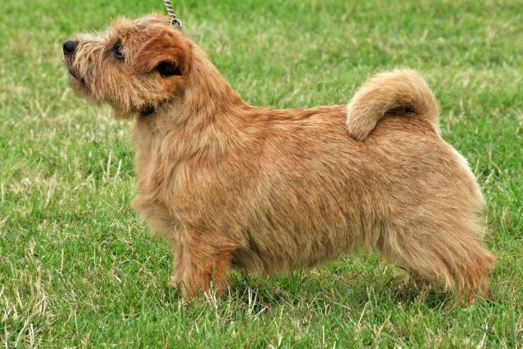 Norfolk Terrier | Dog Breed Facts & Advice | Mypetzilla UK