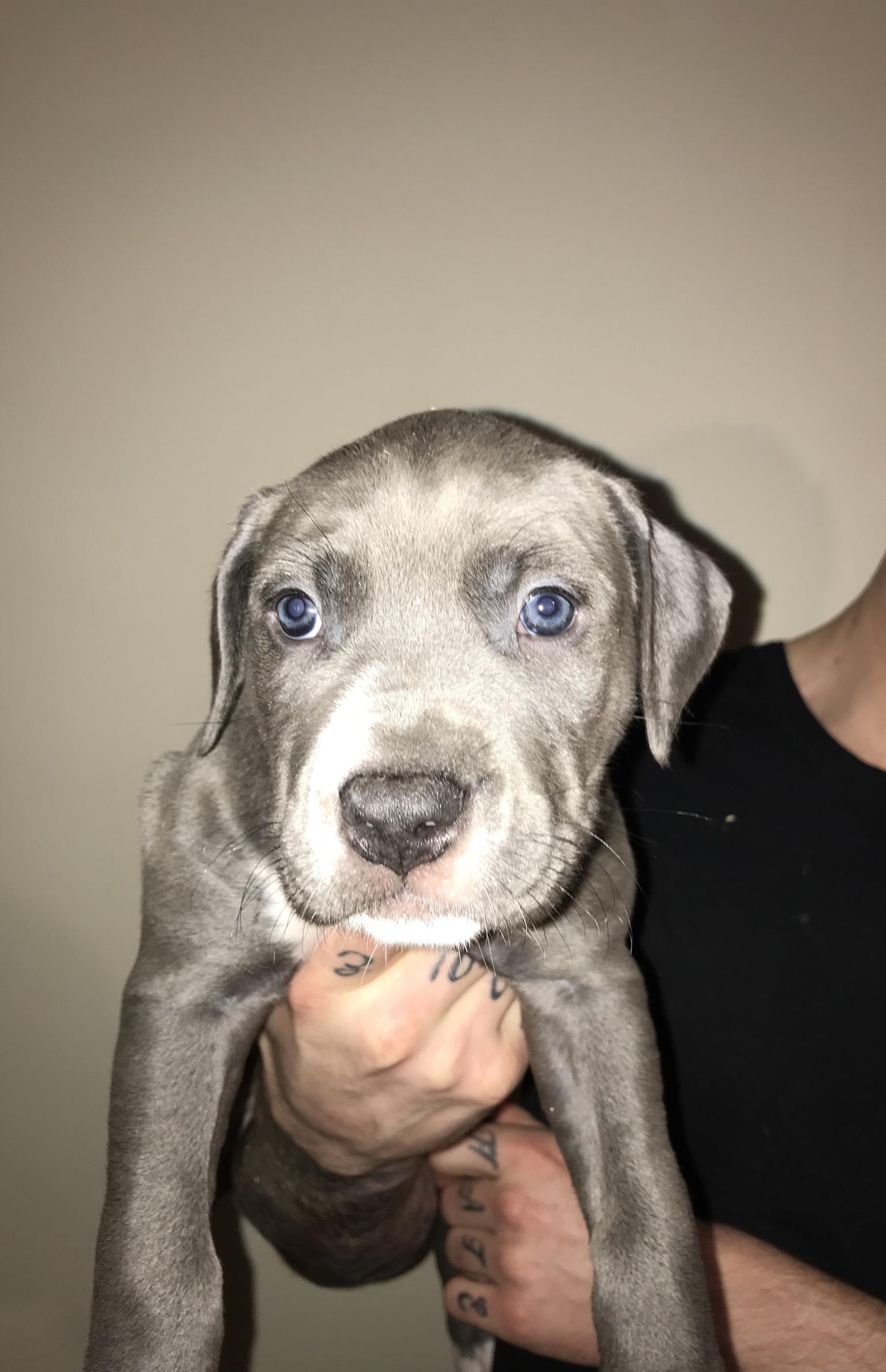 Xl American Bully American Bulldog For Sale Preston