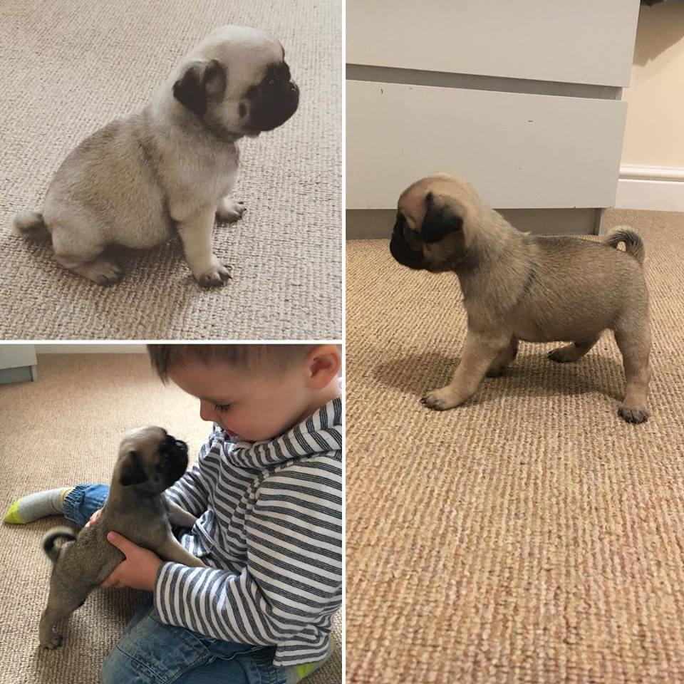Beautiful Kc Registered Pug Puppies Ready To Leave In 2 Weeks