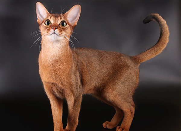 All Domestic Cat Breeds