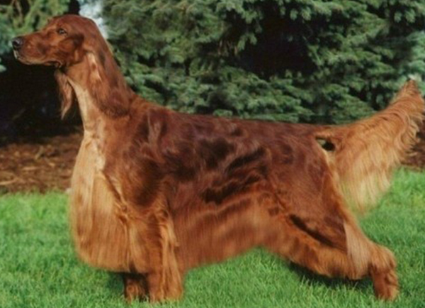 Irish Setter Dog Breed Information Photos Overview And Facts