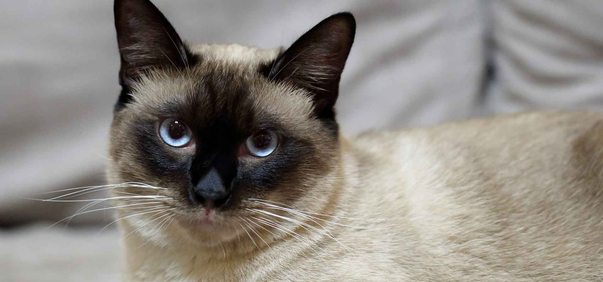 Hypoallergenic Cat Breeds Mypetzilla