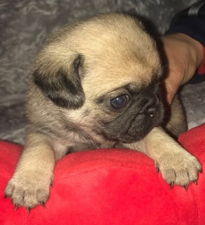 Beautiful Healthy Chunky Pug Puppies For Sale Pug For Sale