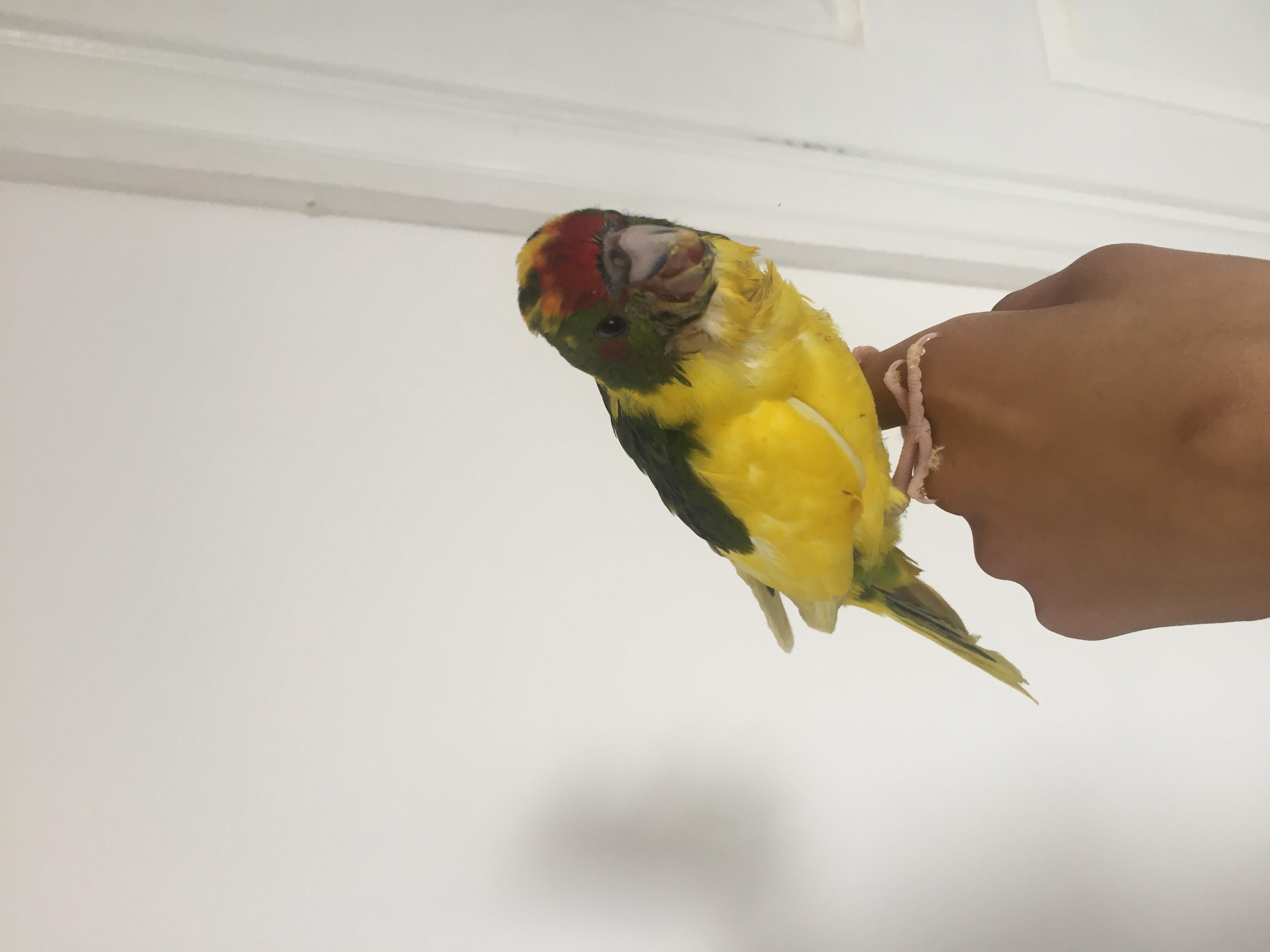 Kakariki handreared | Parakeets for Sale | Preston | Mypetzilla