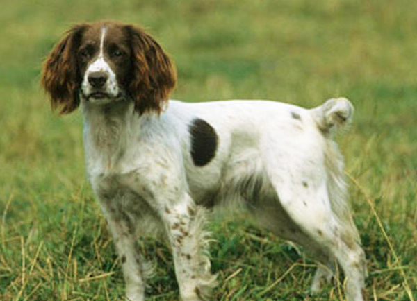 English Springer Spaniel Dog Breed Information Photos Overview And