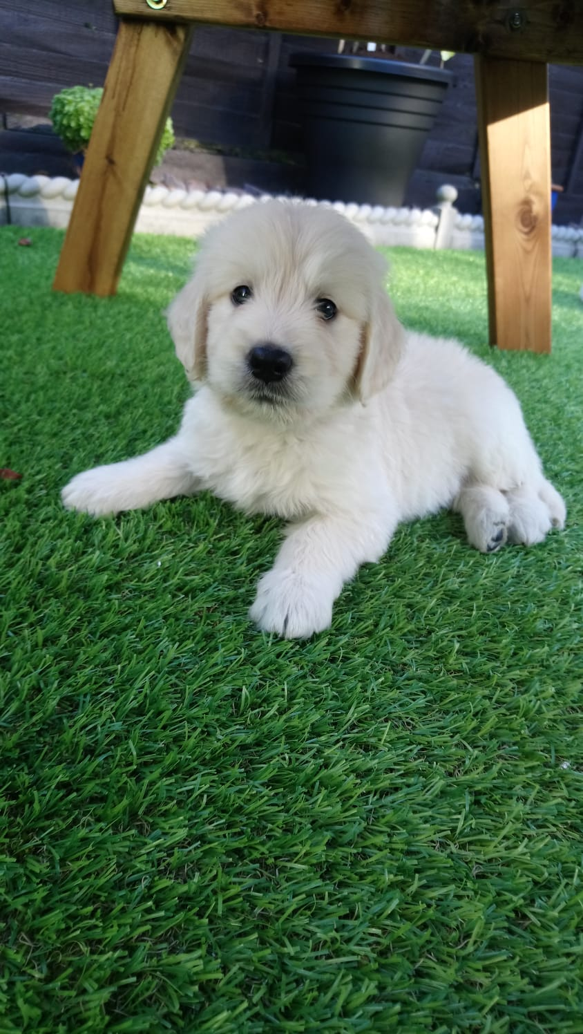 puppies for sale in essex