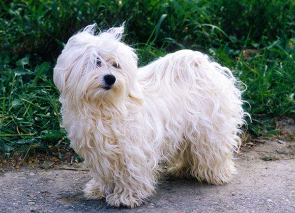 Havanese Dog Breed Facts Advice Mypetzilla Uk