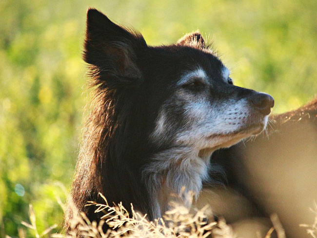 Caring for your dog in older age
