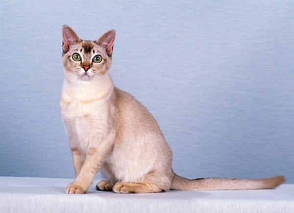 scottish kilt cat