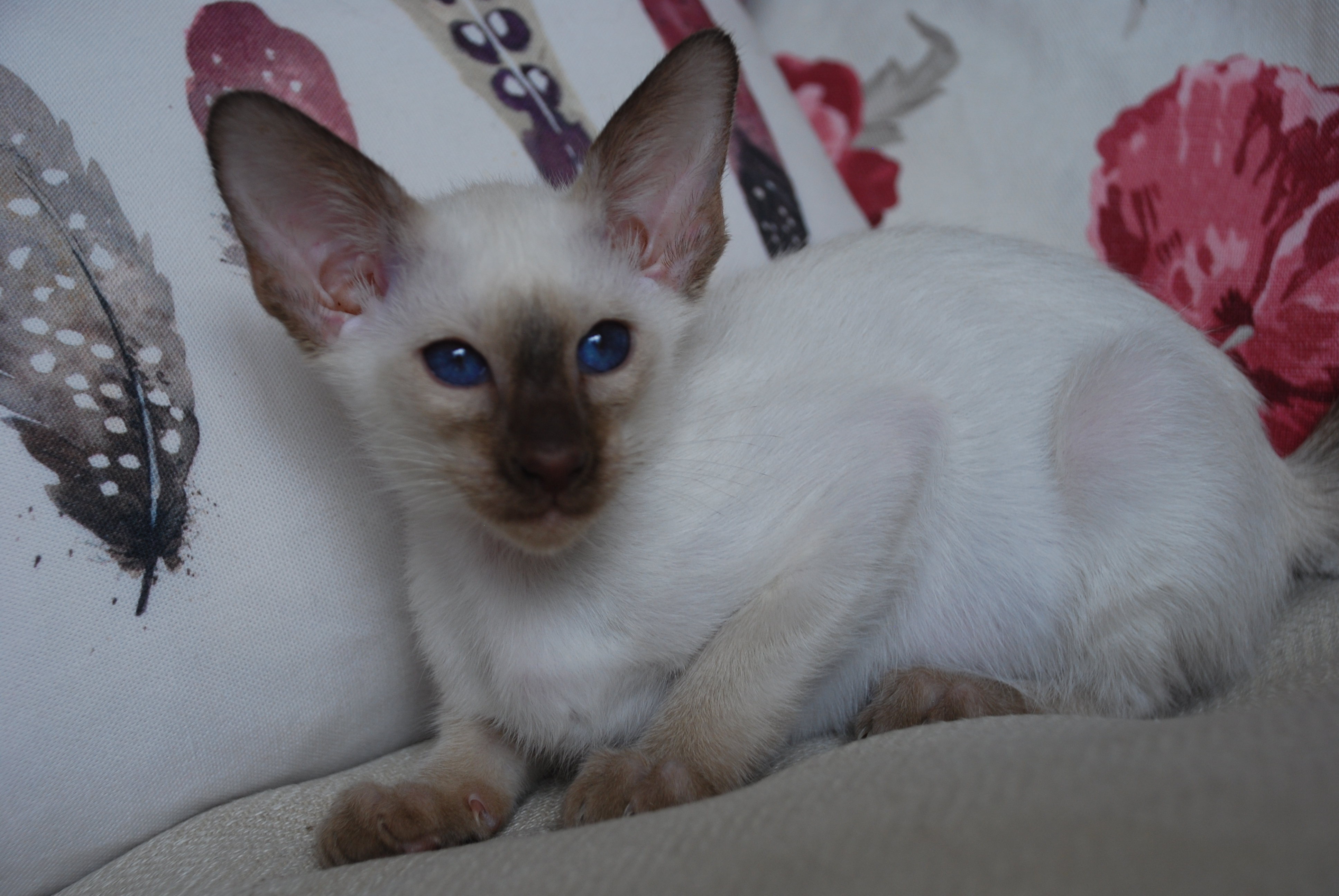 Gorgeous Big Chocolate Point Males And Female Kittens Siamese For Sale Hampshire Mypetzilla