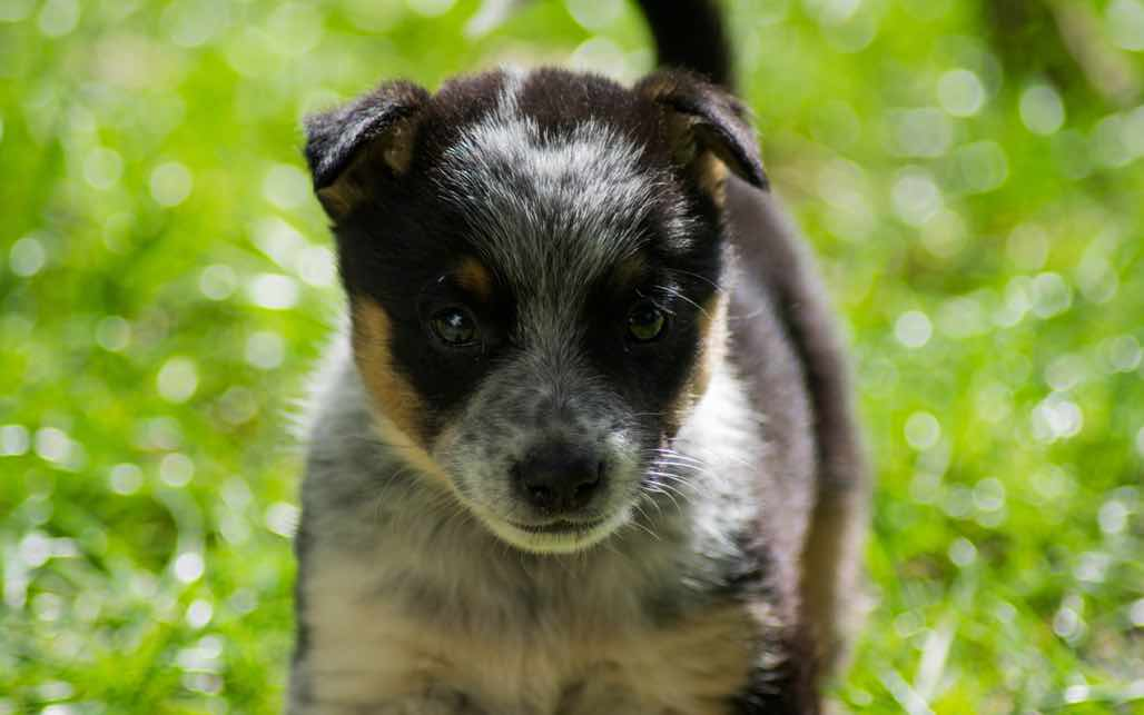 Australian Cattle Dog Dog Breed Information Photos Overview And