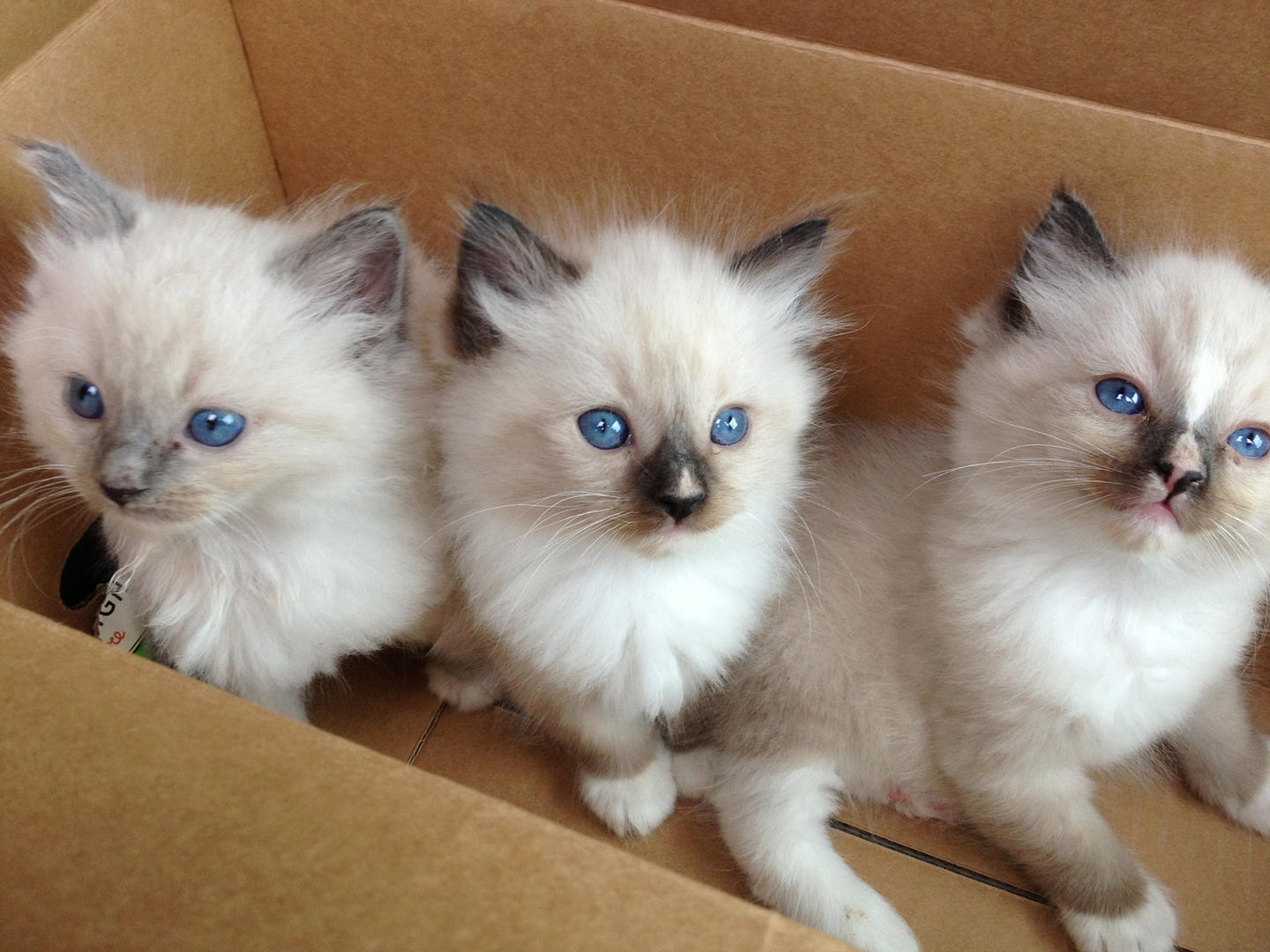 2 White Ragdoll kittens available | Ragdoll for Sale | Devon