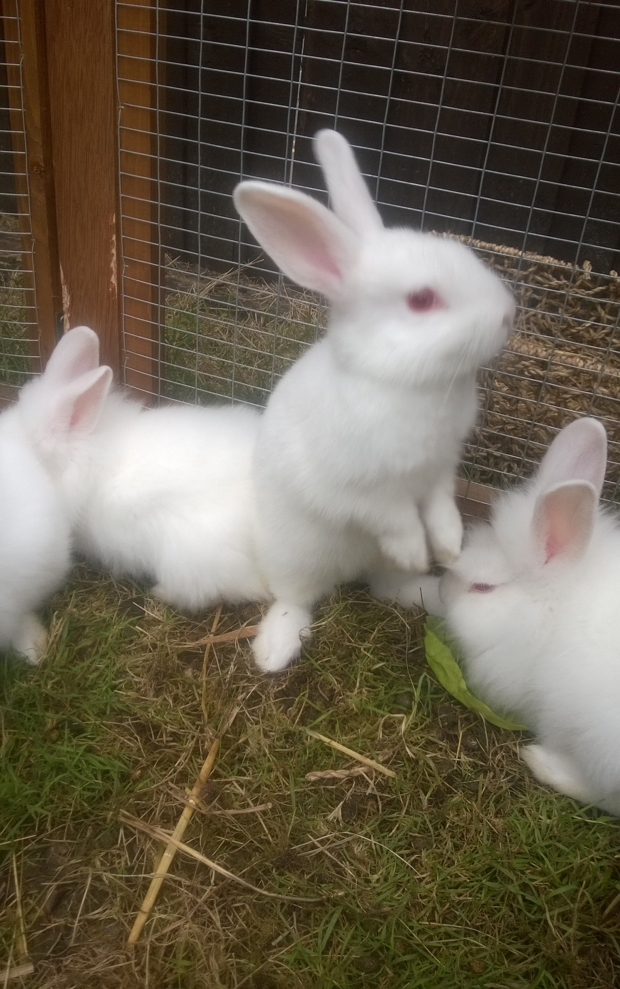 Baby pure bred new Zealand white rabbits for sale | New ...