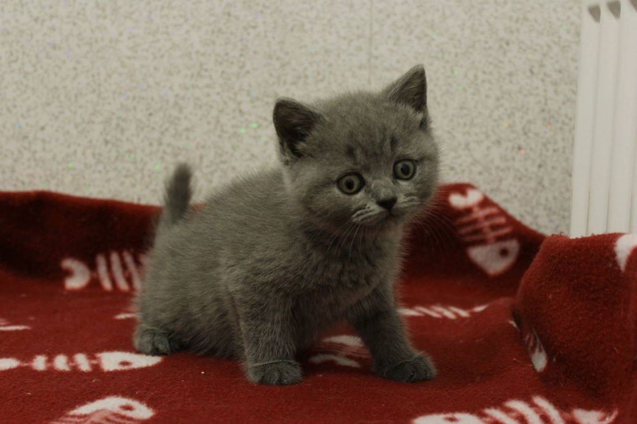 Blue Kittens For Sale : Gccf blue british shorthair kittens for sale british shorthair for