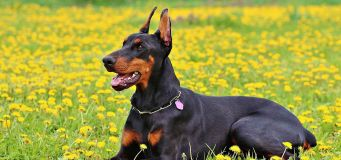 Septic Arthritis In Dogs