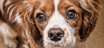 Vulnerable Dog Breeds