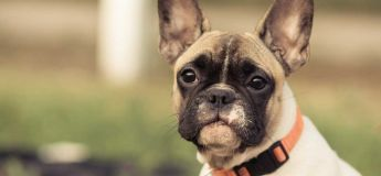 French Bulldog Training Tips