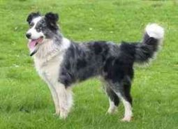 Welsh Collie