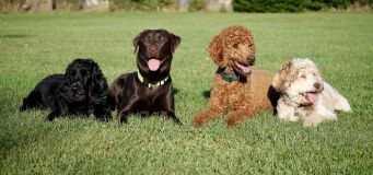 Dog Breeds For Young Children