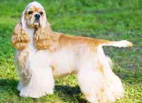 American Bulldog | Dog Breed Facts & Advice | Mypetzilla UK