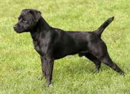 Patterdale Terrier
