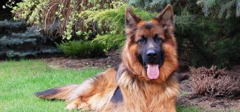 Large Dog Breeds