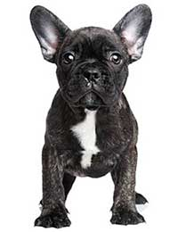Featured Dog Breed - French Bulldogr