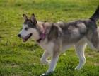 Young Canadian Eskimo Dog