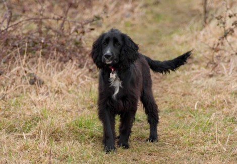 Black Sprocker